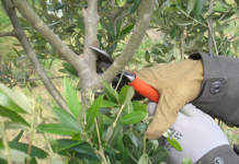 potatura di produzione olivo