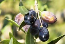 sensibilità della mosca dell'olivo alla superfice del frutto
