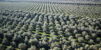droni per olivicoltura