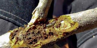 Euzophera larva
