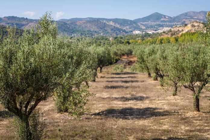 produzione olio di oliva in europa