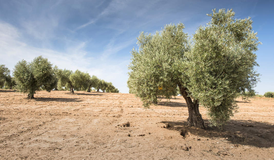 stress termico olivo