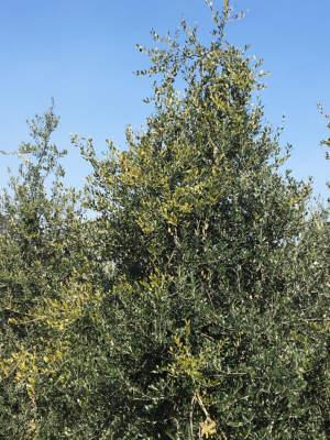 chioma di olivo colplto da Euzophera