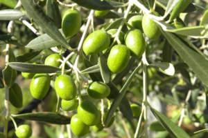 concimazione fogliare dei rami di ulivo