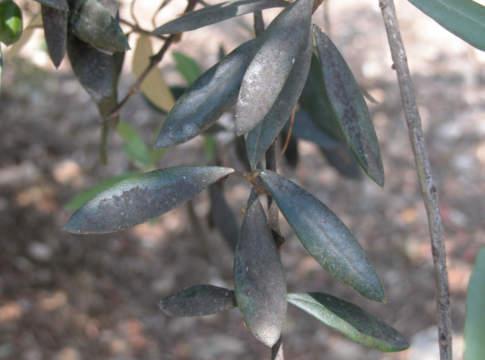 fumaggine olivo