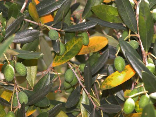 Cercosporiosi su foglie di olivo.