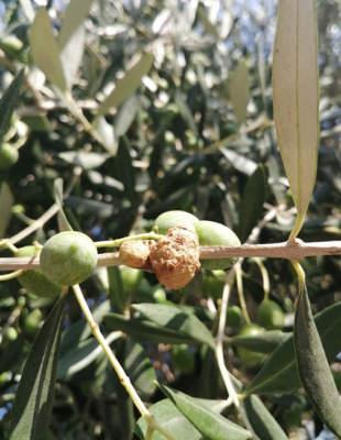 Sintomo rogna olivo