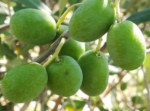 mosca olivo trappole