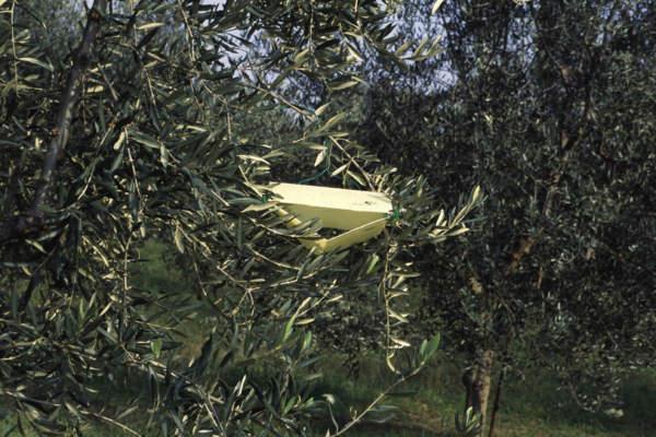 mosca olivo trappola a pagoda