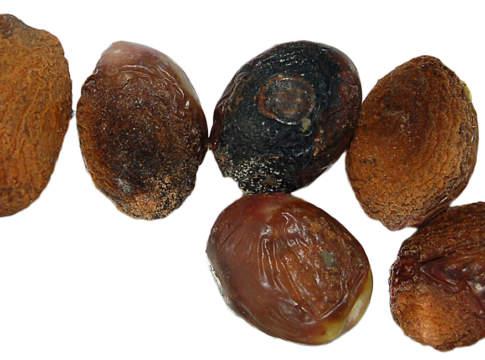 lebbra olivo