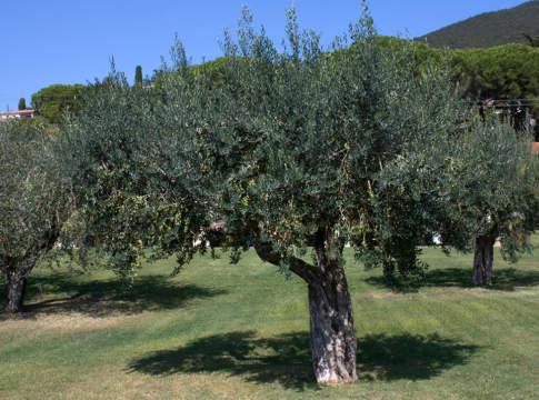 olivicoltura e impronta di carbonio