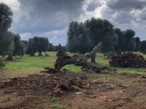 Olivi infetti da Xylella