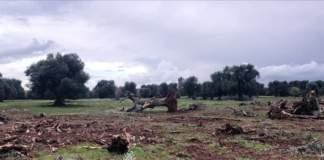 xylella olivi monumentali