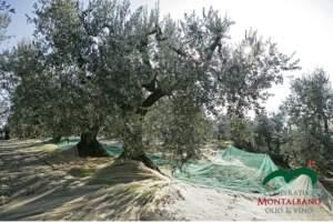 Recupero oliveti abbandonati