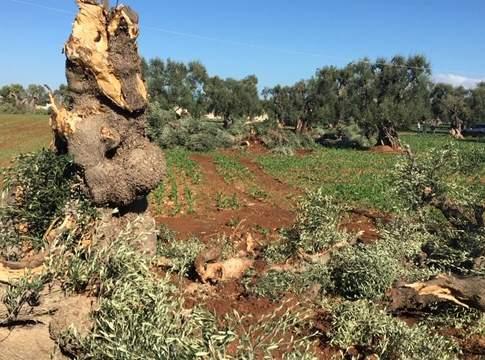 legna di ulivo disseccato da xylella