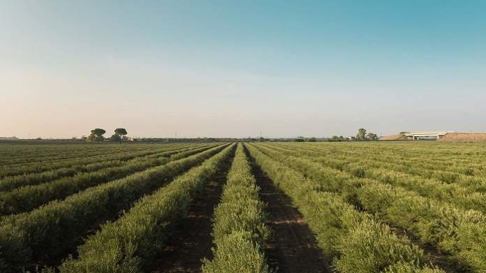olivicoltura sostenibile