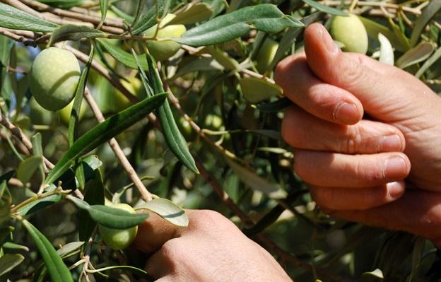 raccolta olive 2020