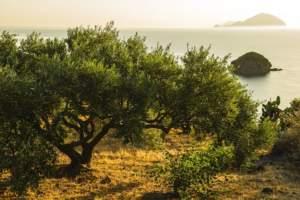 Olivicoltura siciliana