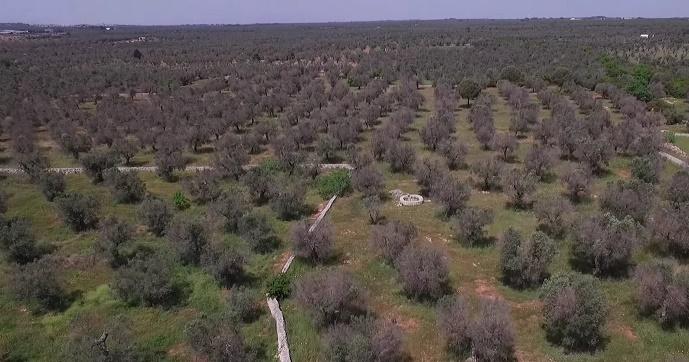 xylella reimpianto olivi
