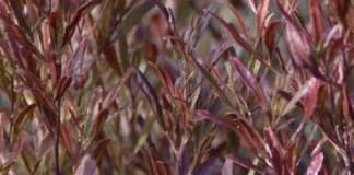 xylella canosa