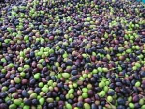 olive in trentino