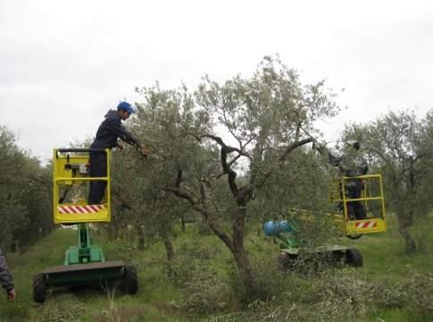 oliveto post raccolta