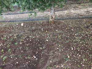 olive a terra