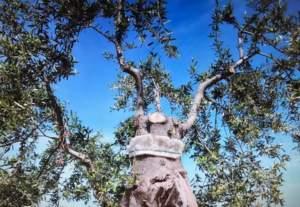 Innesti per salvaguardia olivo monumentale