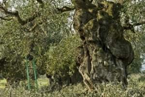 olivi secolari o monumentali