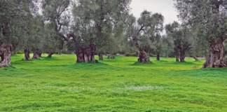 xylella olivi secolari