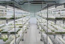 micropropagazione olivo