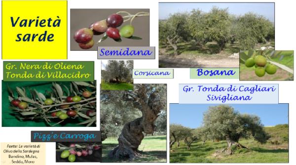 olivo varietà minori sarde