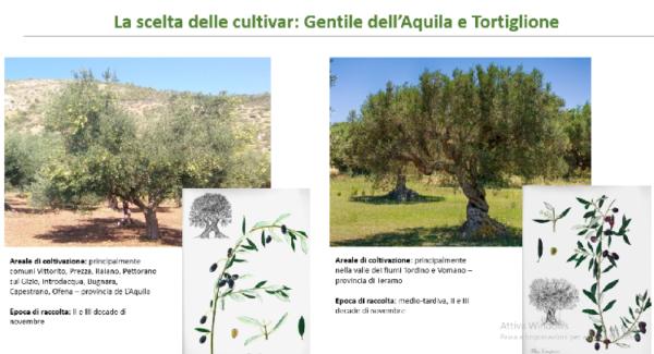 olivo varietà minori abruzzesi