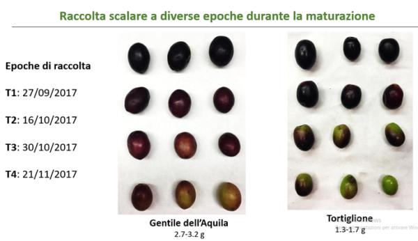 olive varietà minori abruzzesi