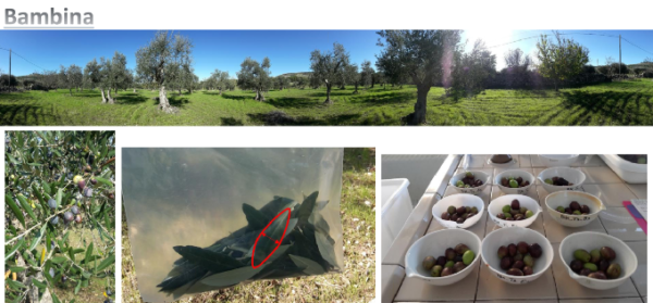 olivo varietà Bambina
