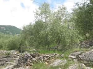 Olivicoltura Trentino