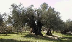 Olivo campano