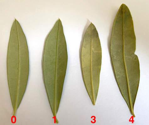 cercosporiosi olivo classi di malattia