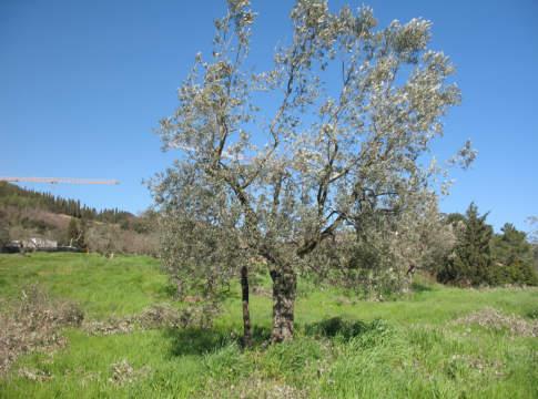 chioma dell'olivo