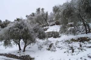 neve su olivi