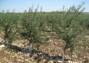 olivi moderni