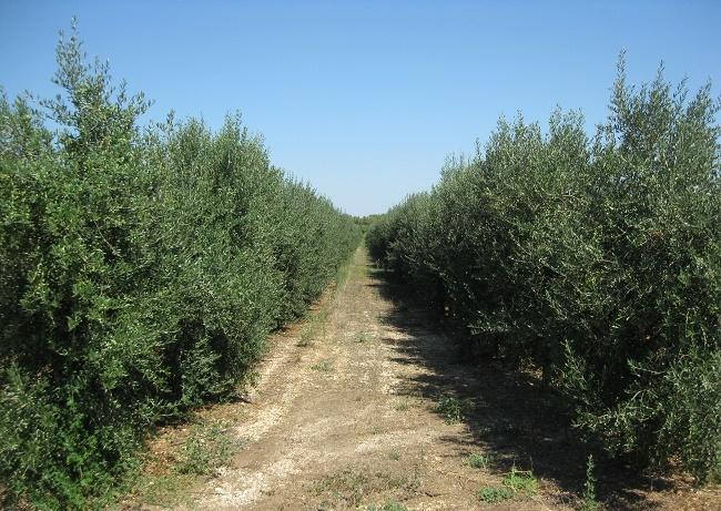 comparto olivicolo oleario