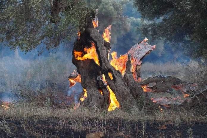 xylella incendi