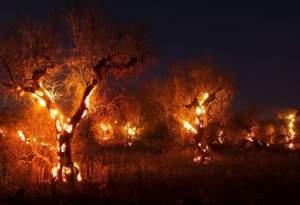 Xylella fiamme