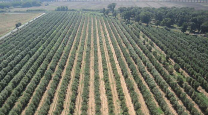 Webinar SOI sull'olivicoltura di precisione