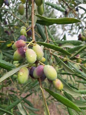 frutti di coratina