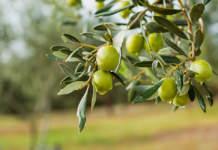 irrigazione di precisione olivo