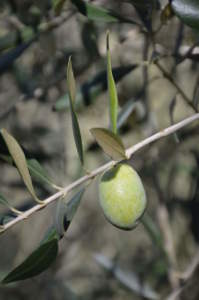 frutto di ascolana tenera