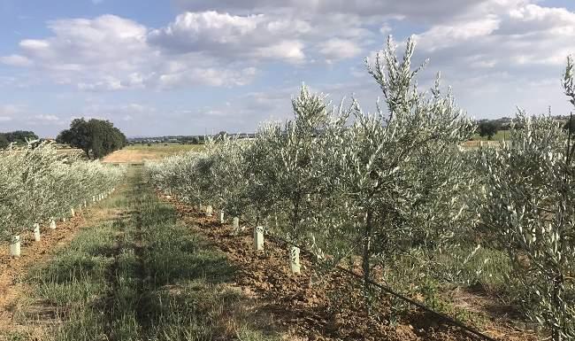 gestione suolo olivicoltura