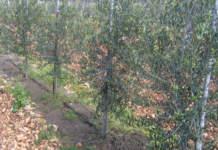 sansa di olive